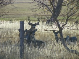 Milliron TJ outfitting Wyoming Mule Deer Hunting